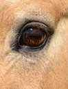 Horse eye close up vertical with very long lashes Royalty Free Stock Image