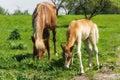 Horse family Royalty Free Stock Photo
