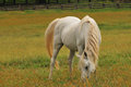 Horse feeding on grass white in a fenced farm Royalty Free Stock Photos