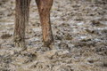 Horse feet in the mud stands a muddy field Royalty Free Stock Image