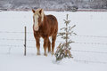 A horse beside a fence brown with gold mane and small spruce tree Stock Images