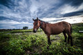 Horse in the field Royalty Free Stock Image