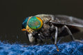 Horse Fly Royalty Free Stock Photography