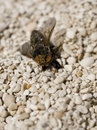 Horse fly Stock Photography
