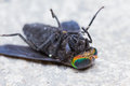 Horse Fly is dead Royalty Free Stock Image