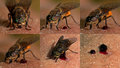 Horse-fly, Tabanidae Which Are...