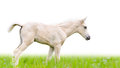Horse foal in grass isolated on white walking green background Stock Images