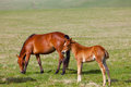 Horse with a foal are grazed on mountain pasture Stock Photos