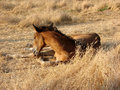 Horse foal lies in the grass Royalty Free Stock Image