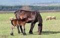 Horse foal neigh Stock Photos
