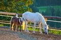 Horse foal sunset light Stock Image