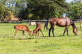 Horse foals colt stud farm mare and on field Royalty Free Stock Photo
