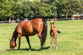Horse foals colt stud farm mare and on field Stock Image