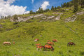 Horse foals grazing mountains mountain landscape with herd of horses on a slope Stock Photography