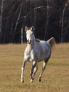 Horse in forest gray arabian Stock Photography