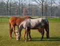 Horse free bareback while eating fresh grass Royalty Free Stock Photography