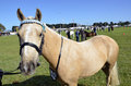 Horse at geelong show Stock Photography