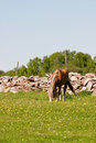 Horse graze horses at the meadow Royalty Free Stock Images