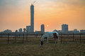 A horse graze at the Kolkata Maidan area at sunrise on a foggy winter morning with the cityscape at the backdrop. Royalty Free Stock Photo