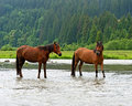 Horse a grazes on the river Royalty Free Stock Images