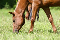 Horse grazing Stock Images