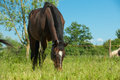 Horse grazing adult in field Royalty Free Stock Images