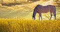 Horse grazing in field Royalty Free Stock Images