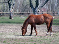 Horse grazing in field side view of brown Stock Photo