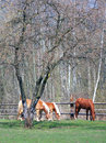Horse grazing in field threw brown horses countryside with tree background Stock Photos