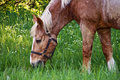 Horse grazing on grass Stock Images