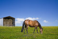Horse grazing on the green field with a barn Royalty Free Stock Photo