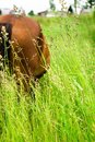 A horse grazing in a meadow. Royalty Free Stock Photo
