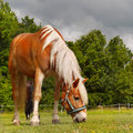 Horse grazing on meadow haflinger a rural farm Royalty Free Stock Photo