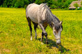 horse grazing in a meadow Royalty Free Stock Photo