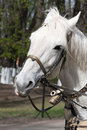 Horse harness portrait of white with bridle and closeup Royalty Free Stock Photo