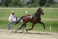 Horse during harness race brown and his jockey pictured in ploiesti romania Royalty Free Stock Images