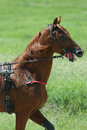 Horse during harness race brown pictured in ploiesti romania Stock Image