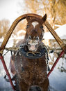 Horse in harness smiling winter Stock Image