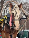 Horse harnessed to a sled Stock Photography