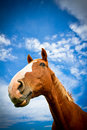 Horse head with blue skies a beautiful portrait of a in summer Royalty Free Stock Photography