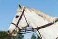 Horse head bridle gray equestrian animal portrait Stock Photos