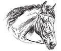 Horse head with bridle vector hand drawing illustration Royalty Free Stock Photo