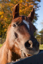 Horse head brown close up Royalty Free Stock Photo