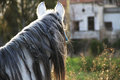 Horse head hair white neck Royalty Free Stock Images