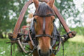 Horse head in harness red Stock Photography