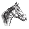 Horse head in profil with bridle vector hand drawing illustratio