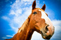 Horse head in side portrait with blue skies a beautiful of a summer Stock Photography