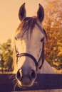 Horse head of white close up toned image Royalty Free Stock Images