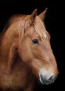 Horse headshot against black a head shot of a suffolk punch a background Stock Photo