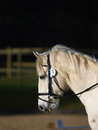Horse headshot in bridle a head shot of a grey pony a Stock Photography